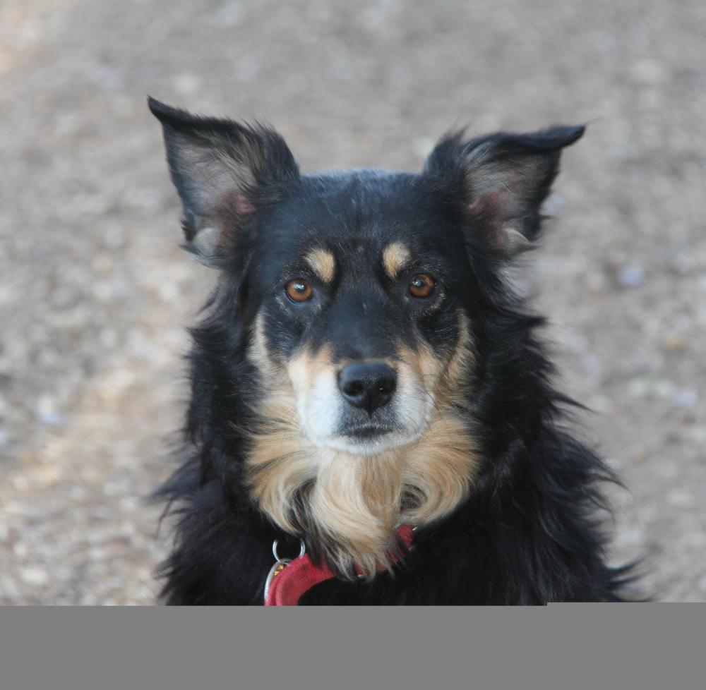 Dancer, the Aussie Saved From Euthanasia  (click photos to enlarge) (1/3)