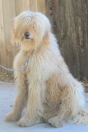 A Labradoodle that is bathed and groomed each month.