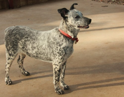 Zoey: Australian Cattle Dog