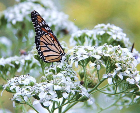 Monarch butterfly on fall blooming native Frostweed