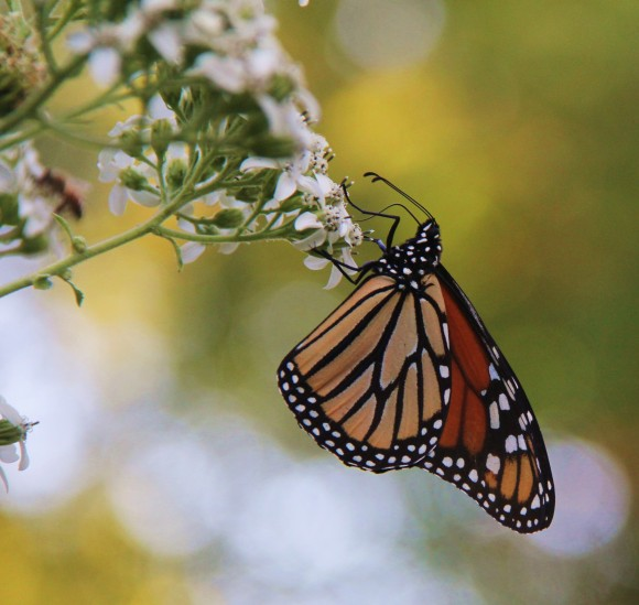Monarch feeding on Frostweed, growing in my yard.  October, 2011