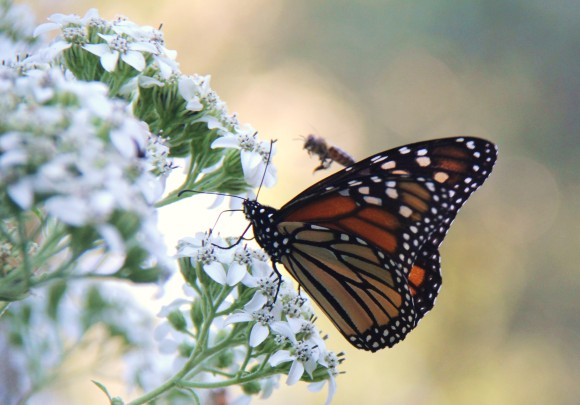 Monarch butterfly nectaring on Frostweed.  Honey bee in background. September 26, 2011