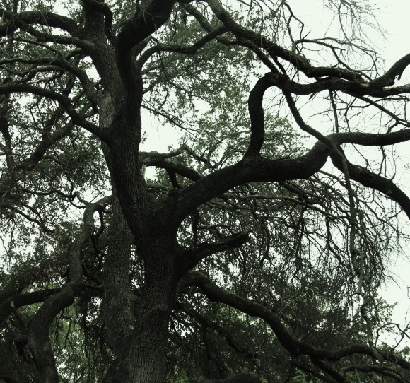 "Live Oak still beautiful after its demise. ""All things are born to live and then live to die."""