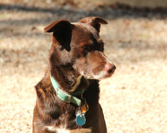 Puppy is a Border Collie/ Australian Shepherd cross.