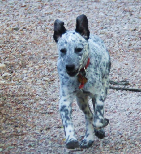 """Australian Cattel Dog puppy: Zoey"""" four months old trying to catch the older dogs"""