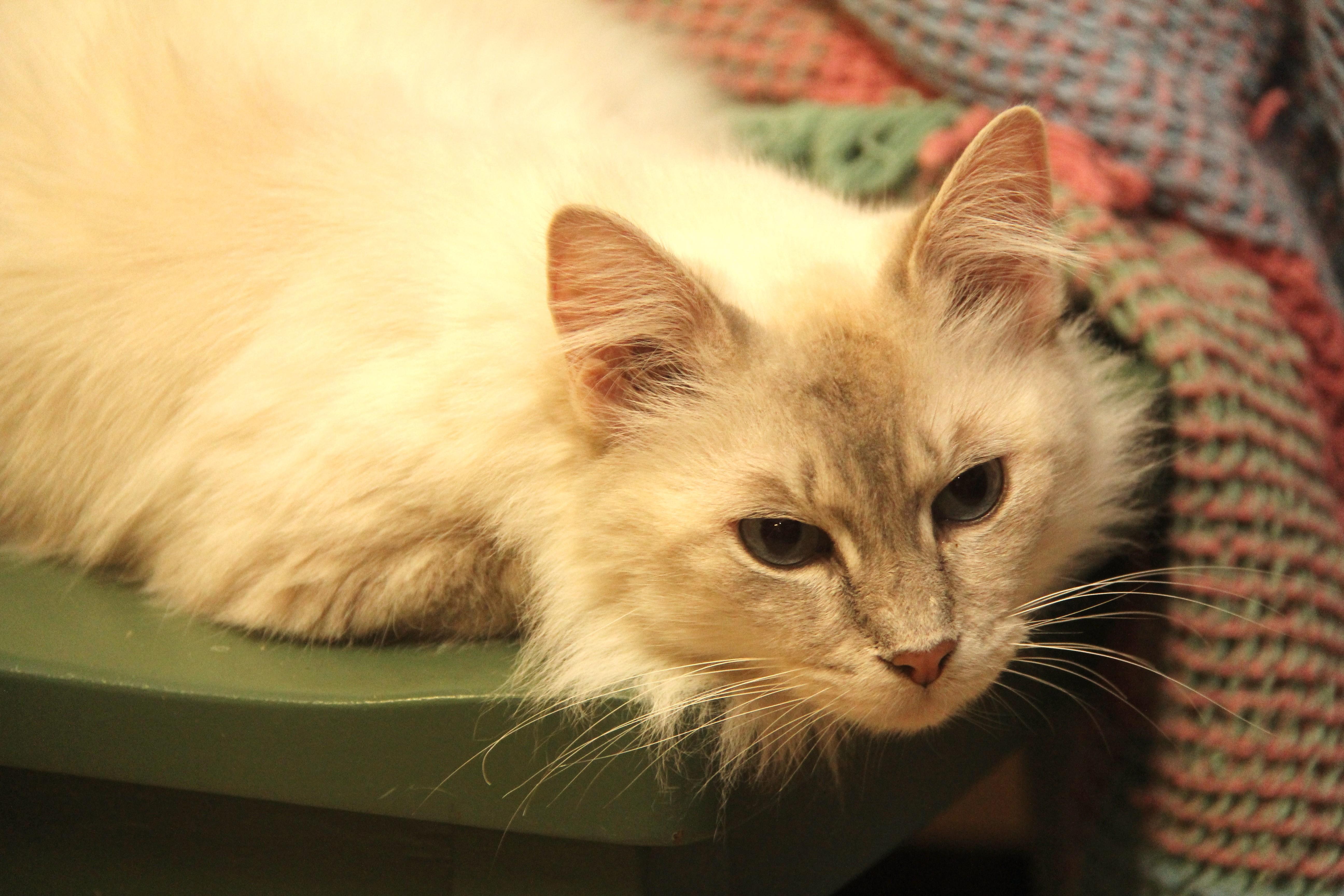 colorpoint short hair cat