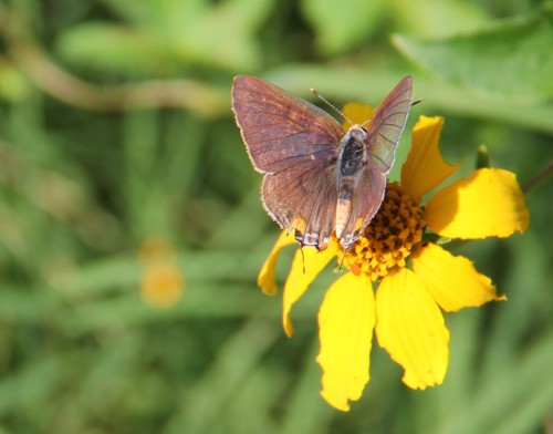 Eastern Tailed-blue nectaring on fall blooming  native Wedalia November 14, 2012