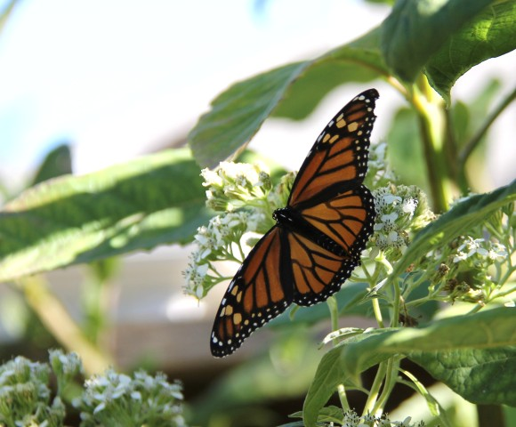 Monarch on fall blooming native Frostweed. Photographed September, 2011