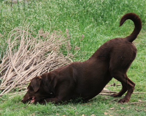 Muddy was a found by me at my place of work. Excellent watch dog. A lab that does not like water.   :-)