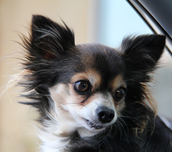 Cocoa, long haired Chihuahua owned by my friends Sue & Eldon P. of Valley Mills, TX. I took this shot of Cocoa inside their Toyota Rav while they were shopping in Marble Falls,TX.