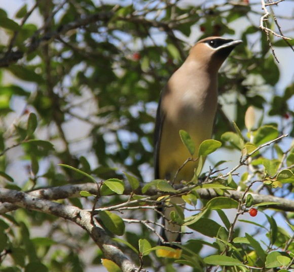 Cedar Waxwing- migratory winter resident. I stood on my little electric cart to get these pics. They initially flew away when I drove to the holly but they returned about 3- minutes later. Those red berries were too enticing.