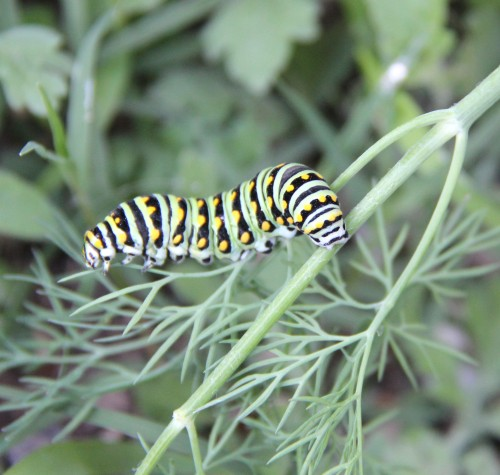 Black Swallowtail caterpillar feeding on dill