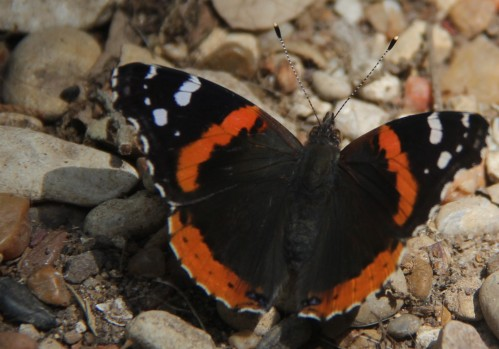 Red Admiral obtaining moisture from the rocky soil