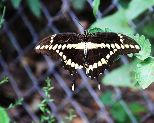 Giant Swallowtail resting on a tomato leaf. A lucky shot for me. Wish that it had been a flower.