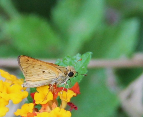 Fiery Skipper, nectaring  on lantana June. 2012