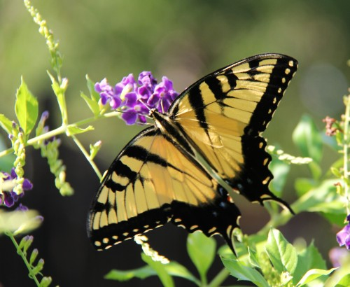 Eastern Tiger Swallowtail,  early migrant- nectaring on Skyflower  August 31,2013