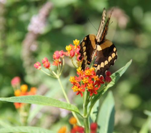 Giant Swallowtail nectaring on Mexican Butterfly Weed, August, 2013