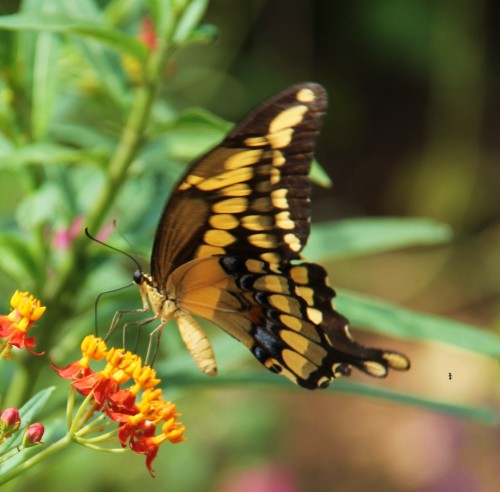 Giant Swalowtail. Mexican Butterfly Weed  Spet. 4, 2013