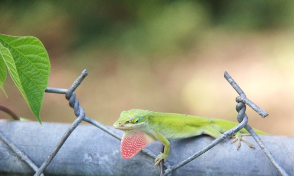 "The male anole ""blows out"" his throat pouch as a means of attracting mates and to assert territory."