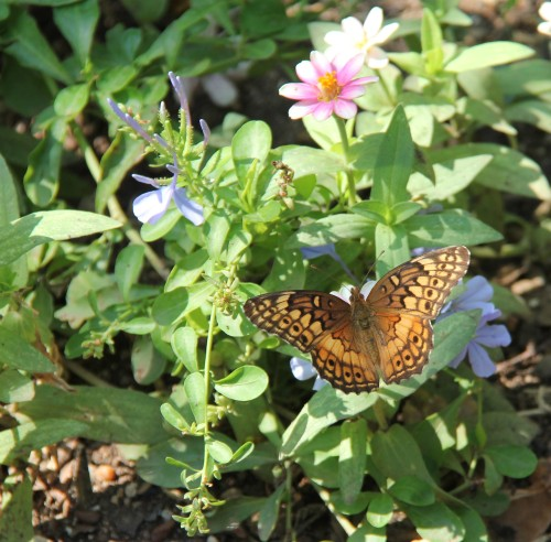 Variegated Fritillary, nectaring on zinnia  Sept, 4, 2013