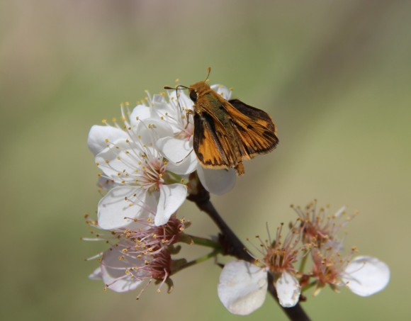 Sachem skipper? nectaring  on Mexican plum   (photo 3/18/2014)