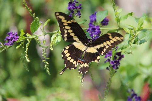 Giant Swallowtail, Skyflower  Sept. 4, 2013