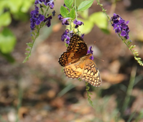 Variegated Fritillary, Skyflower  Sept. , 2013