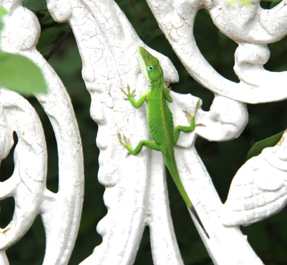 The little anole perched on a wrought iron chair on the front patio which is surrounded by lots of vegetation.