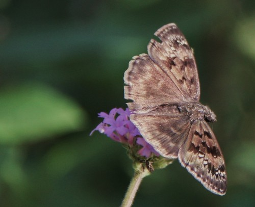 Northern Cloudywing, nectaring on Scabiosa July, 2013