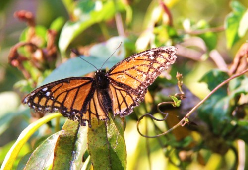 Viceroy, fall.Resting on on the twigs of a tree. Looks similiar to Monarch. A faded butterfly here.