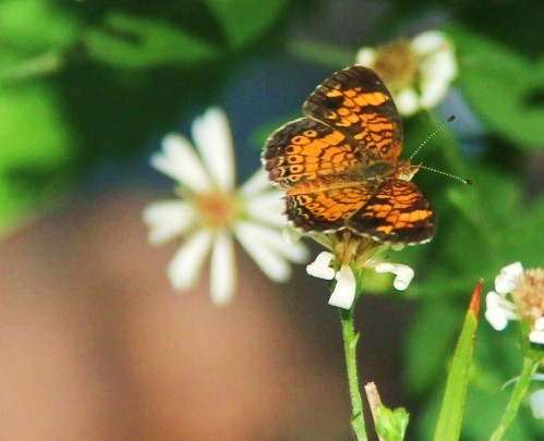 Pearl Crescent, nectaring on native Aster, late Spring