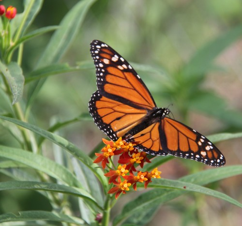 Monarch, nectaring on Mexican Butterfly Weed, July, 2012