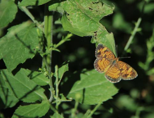 Pearl Crescent on native Aster. Summer.