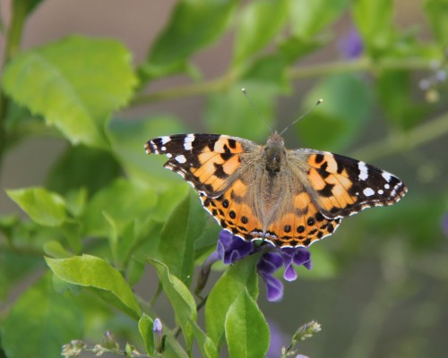 Painted Lady, nectaring on Skyflower (duranta)