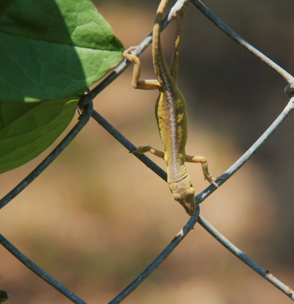The friendly green anole here is a yellowish-brown color. Color is affected by temp and sunlight. I like this color. I think he/she knows is's cute. :-) Well not really but it's posing nicely for me in this photo op. :-)