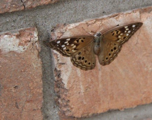 Hackberry Emperor, on the chimney bricks.