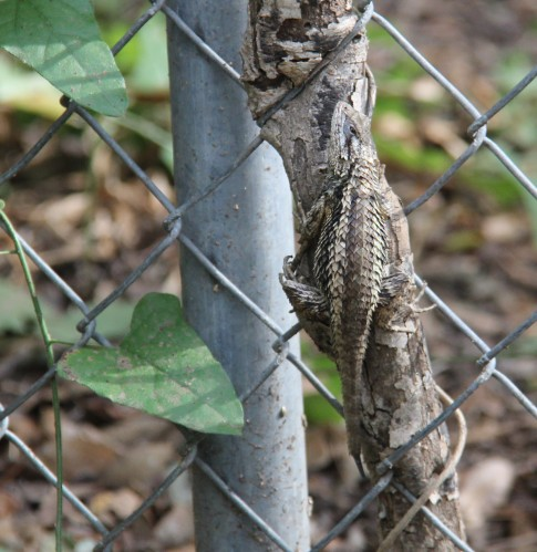 Look closely or you will miss the lizard. The Texas Spiny Lizard in this photo blends perfectly on this small decaying tree sapling.