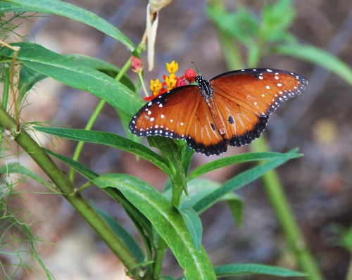 Queen, male-  nectaring on Mexican Butterfly Weed, Summer, 2013