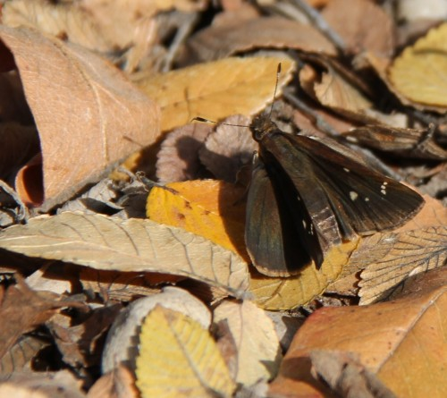 Northern Cloudywing down in the leaves in November, 2012