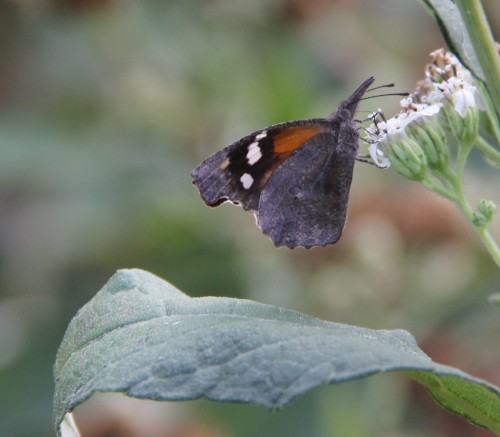 American Snout, nectaring on Frostweed, October, 2011