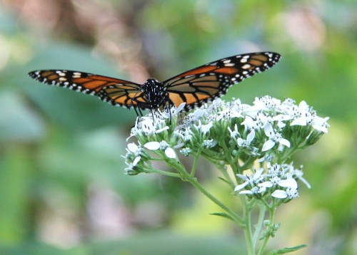 Monarch, nectaring on Frostweed, October, 2011