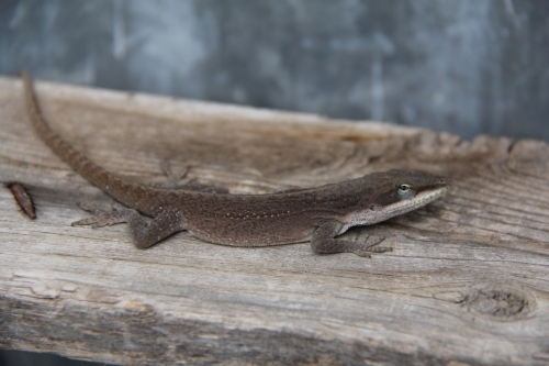 This Green Anole changes color depending on temperature and sunlight. In this pic the anole is looking dapper in his brown suit.