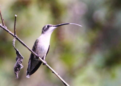 Immature or a female Black chinned or Ruby Throated Hummingbird. Very difficult to identify positively