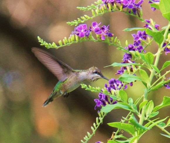 Black chinned or Ruby throated Hummingbird (female or immature)
