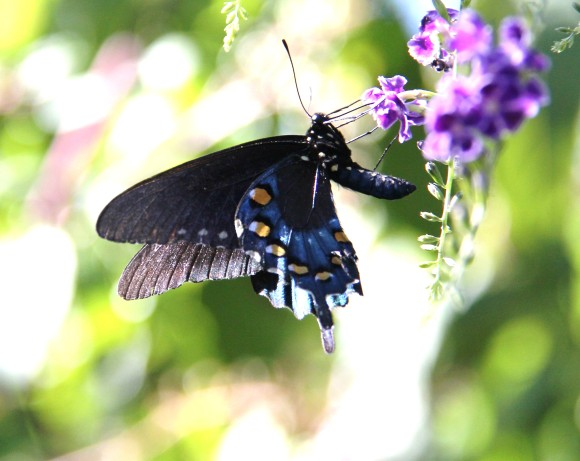 Pipevine Swallowtail nectaring on Skyflower (duranta). Photographed Sept. 24, 2013