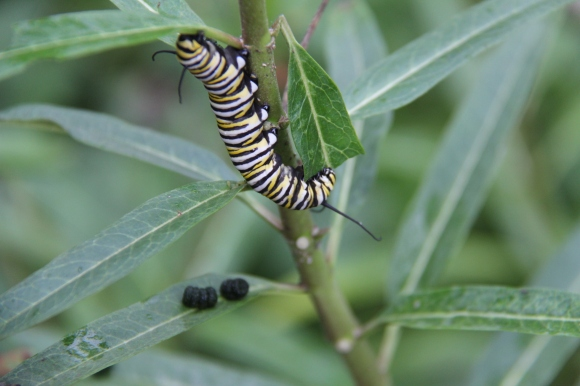 monarch caterpillar eating leaves of Mexicam Butterfly Weed. Small dark globs on leaves is frass (caterpillar feces)