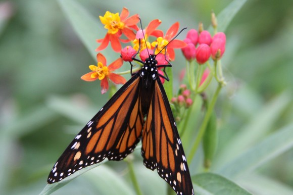 Monarch on Mexican Milkweed