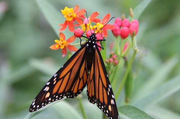 Monarch on Mexican Milkweed