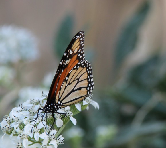 Monarch nectaring on native Frostweed