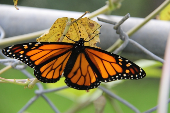 Monarch drying its wings. Frequent changing of shady to sunny. Time about 2:30pm